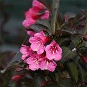 Weigela florida 'Midnight Wine' (Weigela 'Midnight Wine') Click image to learn more, add to your lists and get care advice reminders  each month.