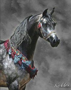 Dapple gray Arabian in fancy costume. #Arabian horse.