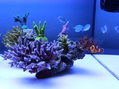 Barebottom SPS tank with Amphibiprion ocellaris and Chromis viridis