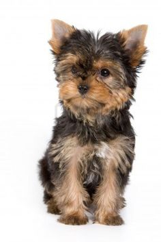 Yorkshire Yorkie Terrier Puppy Dog