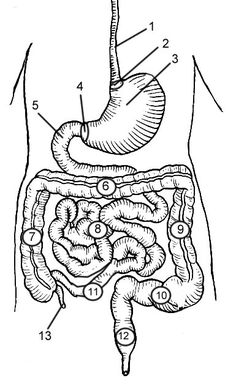 Study Guide digestive system