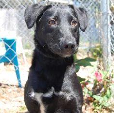 JASMINE STILL LISTED in January 2015. Intake date 3/2014. Please share this beautiful dog.... JASMINE...FLORIDA...Animal Details