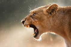 Lioness displaying dangerous teeth in a rainstorm by Johan Swanepoel Kruger National Park, National Parks, Male Lion, Game Reserve, Carne, Teeth, Display, Animals, Femininity