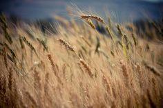 Grains of wheat blow in the wind in a farm field