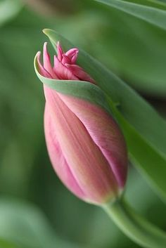 A graceful bud on a beautiful pink tulip