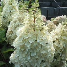 Hortensia paniculata 'Pinky Winky'® - Plantes et Jardins