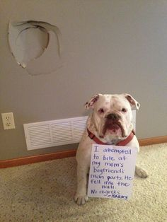 """I attempted to bite my Mom's boyfriends man parts. He fell into the wall. No regrets. -Harry"" ~ Dog Shaming shame - Bull Dog"