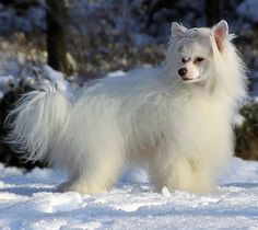 Chinese Crested Powder Puff