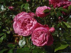 "Rose "" Laguna ® "" , (KORadigel) , bred by Tim Hermann Kordes (Germany, 1994)"