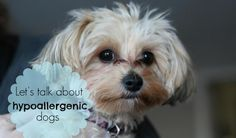 If you're thinking about getting a hypoallergenic dog for a family member who has allergies, read this before you do. You may be surprised.