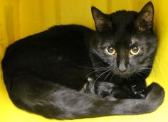 ADOPTED>Intake: 1/31 Available: Now  NAME: Coco  ANIMAL ID: 24884806 BREED: DSH  SEX: Male  EST. AGE: 8 mos  Est Weight: 8.3 lbs Health:  Temperament: friendly  ADDITIONAL INFO: O/S  RESCUE PULL FEE: $39