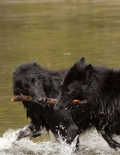 untitled by Johan Palmér on Flickr.Belgian Shepherd Groenendael