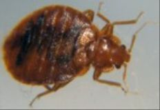 Where Do Bed Bugs Live? - Bed Bug Detection & Bed Bug Life Cycle - PestWorld