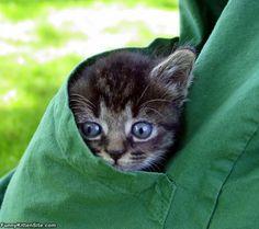 Pocket Of Kitten