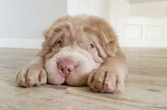This is Tonkey. Tonkey is a Shar-Pei. A bear coat Shar-Pei that is Teddy Bear Puppies, Cute Puppies, Cute Dogs, Dogs And Puppies, Teddy Bears, Doggies, Cachorros Shar Pei, Love My Dog, Bear Coat Shar Pei