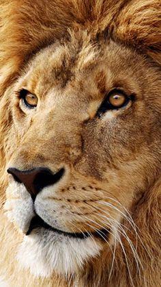 http://www.htconem8wallpaper.com/wp-content/uploads/Animal/Lion%2001%20Htc%20One%20M8%20wallpaper.jpg