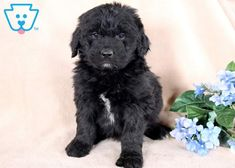 This Newfypoo puppy has a beautiful coat and adorable face! He is vet checked, vaccinated, wormed and comes with a 1 year genetic health guarantee. Akita Puppies, Tiny Puppies, Cute Little Puppies, Puppies For Sale, Cute Puppies, Pet Dogs, Dog Cat, Puppy Care, Puppy Breeds