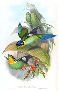 v 1 - Aves de Asia / por John Gould. Art And Illustration, Vintage Bird Illustration, Botanical Illustration, Illustrations, Vintage Birds, Vintage Art, Vintage Prints, John Gould, Bird Artists