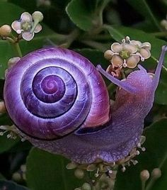 Violet Snail - You could not think this up . humbling Via charlottefree: presenting my newest of favorite critters, the violet snail THIS IS A THING THAT EXISTS?°Д°)」 YOU'RE WELCOME Everyone needs a pretty garden snail. Colorful Animals, Cute Animals, Purple Animals, Odd Animals, Pretty Animals, Strange Animals, Animals Images, Beautiful Creatures, Animals Beautiful