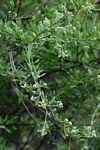 Boscia Angustifolia var. corymbosa         Rough-leaved Shepherds Tree            Skurweblaarwitgat       8 m     S A no 123