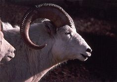 This is a ram (male) Dall sheep.