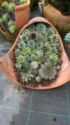 Semperviums in a broken pot