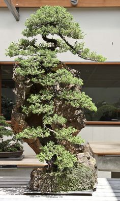 Australian National Bonsai and Penjing Collection - Juniperus