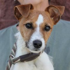 Sporty is an adoptable Jack Russell Terrier (Parson Russell Terrier) Dog in Springfield, IL. I Love Dogs, Puppy Love, Jack Russell Mix, Jack Of Hearts, Parson Russell Terrier, Jack Russells, All About Animals, Terrier Dogs, Little Dogs