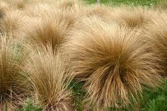 New Zealand plants for UK gardens – in pictures Chionochloa rubra New Zealand plants: Golden red tussock grass