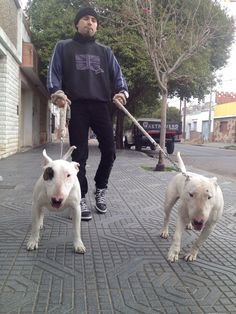 Bull terrier Córdoba  Criadero infierno blanco propiedad claudio zapata