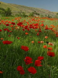 Poppies in Red Lodge, Montana. I can not wait to go back home!