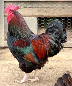 Chicken Breeds | Chicken Breeds: Best Chicken Breeds for Layers and Meat Production