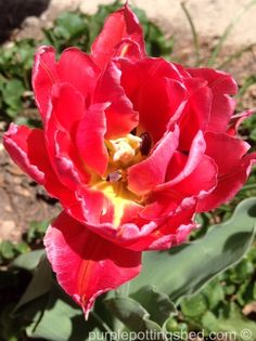Tulips are blooming, yay!  www.purplepottingshed.com