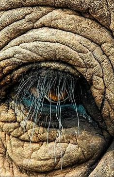 Elephant eye — Reminds me of Snuffaluffagus from Sesame Street 😊 Elephant Pictures, Elephants Photos, Save The Elephants, Animal Pictures, Elephant Eye, African Elephant, African Animals, Baby Elephant, Animals And Pets