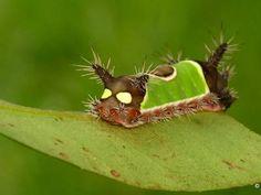 Photo: Caterpillar's eyespots give predators pause