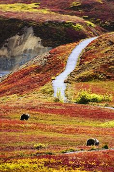 Grizzly bears & fall colors, Denali National Park, Alaska ~ Lovely colors ♥♥
