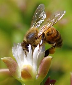 (Beyond Pesticides, August 26, 2015) A study performed by the Food and Environment Research Agency (FERA) in the United Kingdom (UK) provides evidence of confirming the link between neonicotinoid pesticides and continually increasing honey bee colony losses on a landscape level. The study, Evidence for pollinator cost and farming benefits of neonicotinoid seed coatings on oilseed …