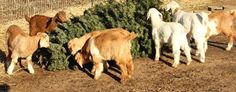 Goats from Goat Grazers munch on a pine tree in Reno, Nevada. (AP/Reno Gazette-Journal, Marcella Corona)