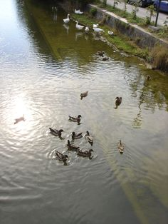geese and ducks at Fiumetto