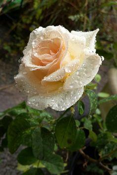 Blush Tea Rose..after the rain