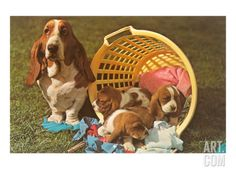 Bassett Hound Family in Laundry Basket