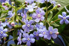 Голубые незабудки, ранние весенние цветы. (Россия, Стародуб)