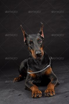 Doberman Pinscher portrait on black. Studio shot of female dog. ...  Doberman, Pincher, Studio Shot, aggressive, animal, background, beautiful, beauty, black, breed, canine, confident, cropped, dangerous, dog, ears, forbidden, fur, guard, guardian, head, intelligent, isolated, malicious, mammal, mean dog, muzzle, obedient, pedigree, pet, portrait, profile, protection, purebred, security, standing, tan, working