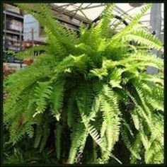 The Ins and Outs of Beautiful Boston Ferns