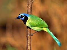Green Jay - 15 Gorgeous And Unusual Birds
