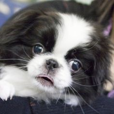 japanese chin. I think I want this little cutie next!!!!