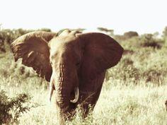 #africa one love big boy elephant