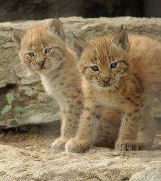 The Eurasian lynx is the third largest predator in Europe after the brown bear and the wolf, and the largest of the 4 lynx species. It has a short body, long legs and large feet. The ears have a characteristic black tuft at the tip while the paws have sharp retractile claws. Fur is usually grey to red and more or less spotted.