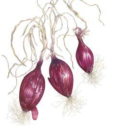 http://www.soc-botanical-artists.org/artist/ann-swan/