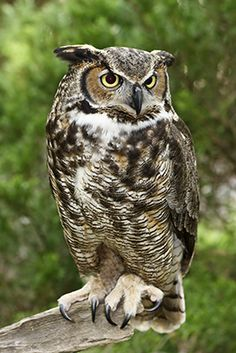 owl perched